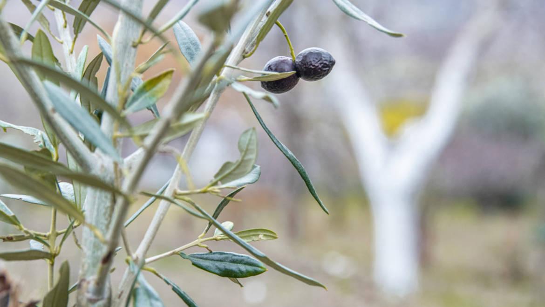 Storia dell'olivo e del suo olio